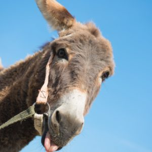 Donkey that carried Jesus